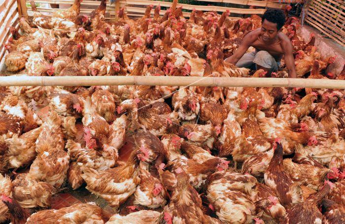 300+ Gambar Ayam Ras HD Gratis