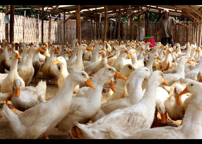 53+ Gambar Bebek Peking Paling Hist