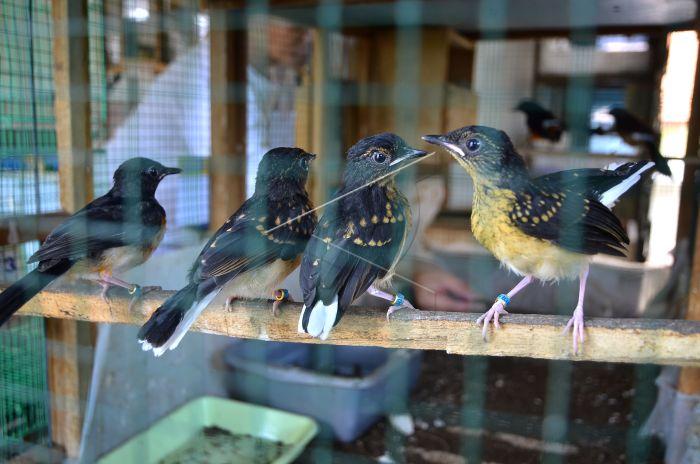 Budidaya Burung Murai Batu Antara Foto