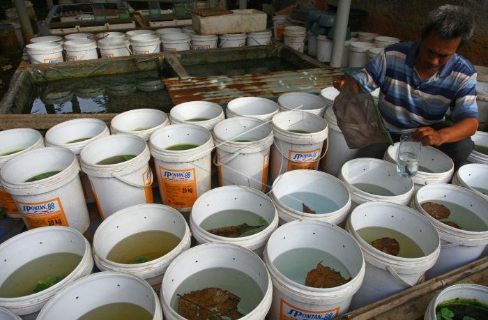 6300 Koleksi Gambar Ikan Cupang Giant Koi Terbaru