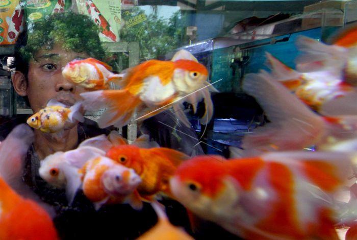 Ekspor Ikan Hias Indonesia Antara Foto