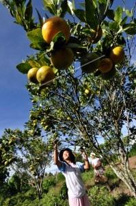 permintaan jeruk meningkat