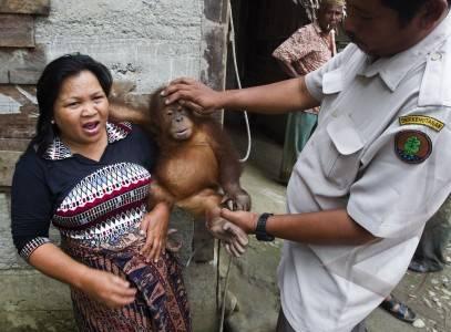sita orangutan