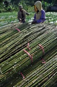 bambu hias.