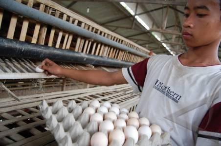 produksi telur ayam arab.