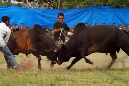 tradisi peupok leumo