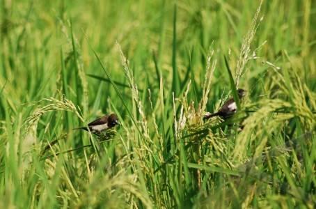 mengusir burung pemakan padi