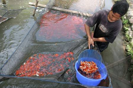 Sentra Ikan Hias - ANTARA Foto: Peristiwa - 25/1/2010 1