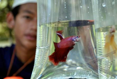 Ikan Hias - ANTARA Foto: Peristiwa - 17/3/2010 13:25:1