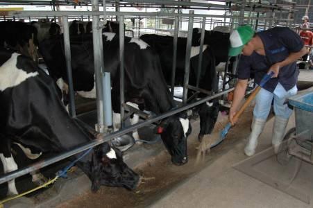 peternakan-sapi-01.jpg