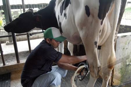 peternakan-sapi-06.jpg