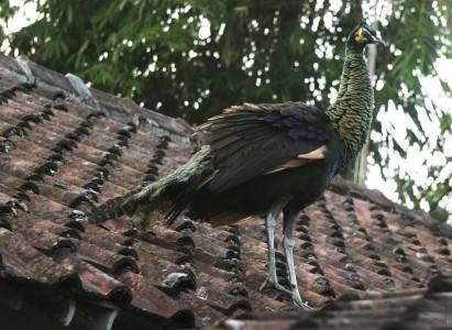 Burung Merak - ANTARA Foto: Peristiwa - 3/9/2010 12:40: