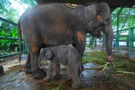 anak-gajah-06.jpg