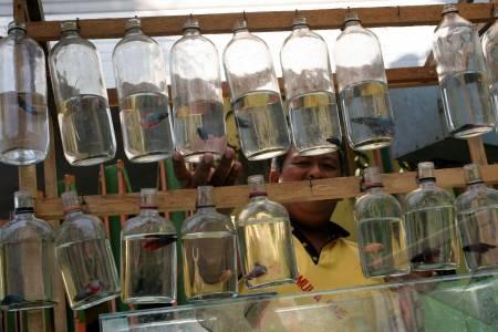 Produsen Ikan Cupang - ANTARA Foto: Spektrum - 13/7/201