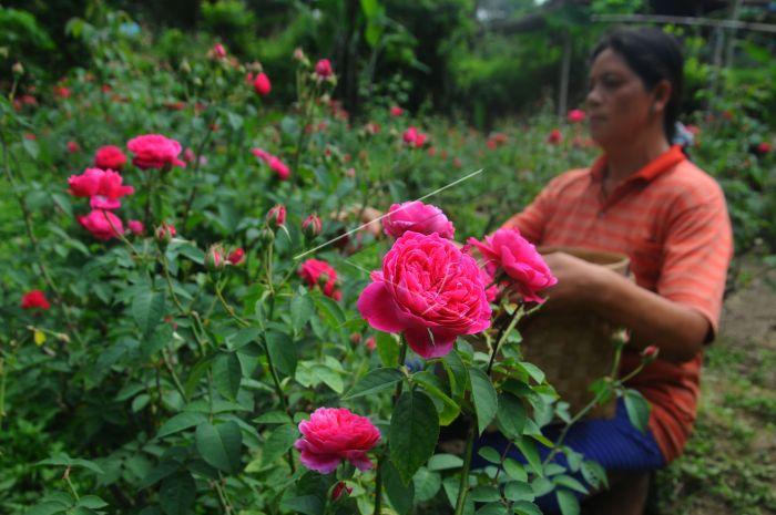 Wow 11+ Bunga Mawar Jawa - Gambar Bunga HD