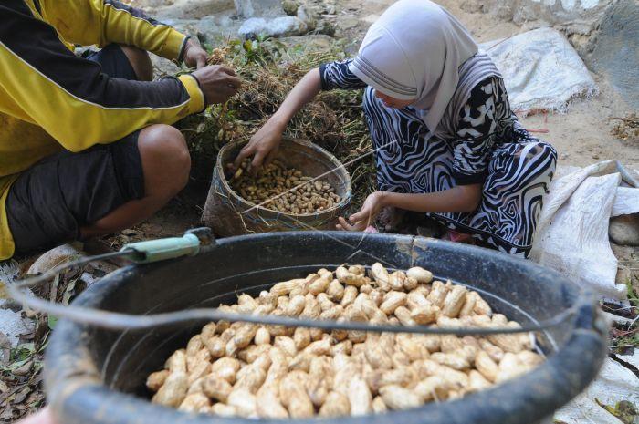 Musim Panen Kacang | ANTARA Foto