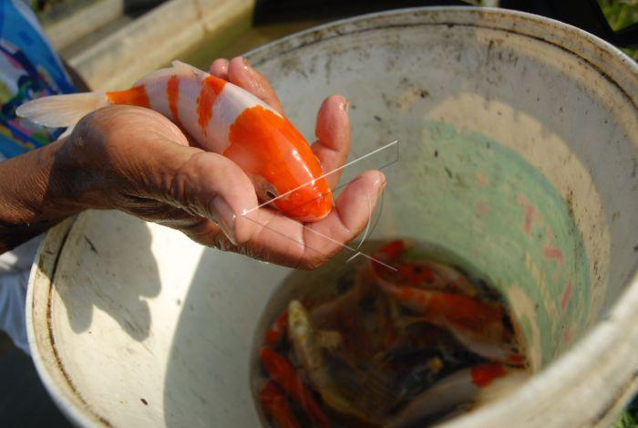 Panen Ikan Koi Antara Foto