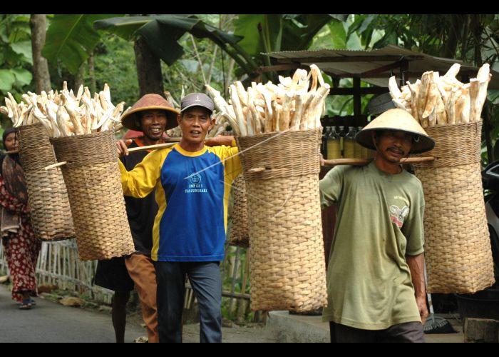 Panen Singkong | ANTARA Foto