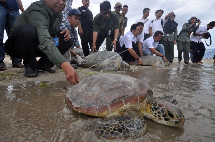 Pelepasliaran Penyu Hijau Sitaan Bksda Prv Kepala Balai Konservasi Sumber Daya Alam Sulawesi Noel Layuk Allo Melepasliarkan Chelonia Mydas Pantai Teluk Palu