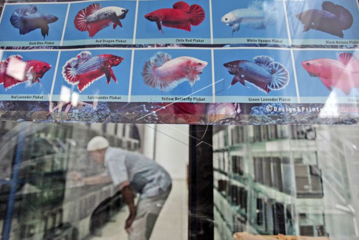 Target Ekspor Ikan Hias Antara Foto