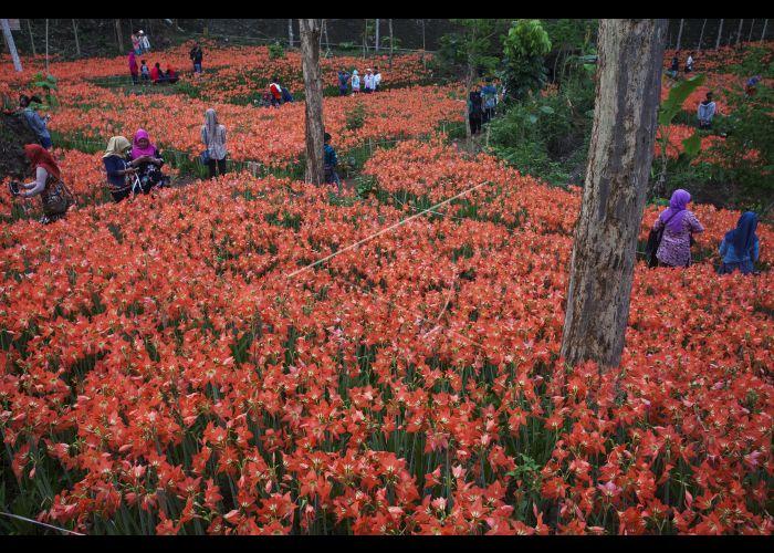 Wisata Kebun Bunga Amarilis Antara Foto